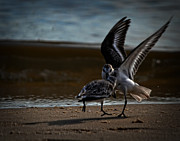 Maggy Marsh - Fighting Sandpipers