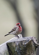 House Finch Framed Prints - Finch Framed Print by Heather Applegate