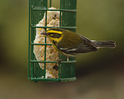 Ron Roberts Photography Prints Posters - Finch on a Suet Poster by Ron Roberts
