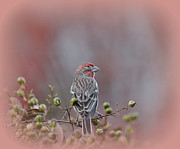 Wildlife - Finch by Todd Hostetter