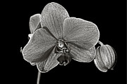 Joe Myeress - Fine Art Orchid