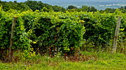 Finger Lakes Vineyard Print by Frozen in Time Fine Art Photography