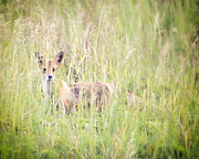 Vicki Jauron Metal Prints - Fire Island Fox Metal Print by Vicki Jauron