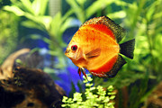Discus Photo Prints - Fire Red Discus Fish Print by Brandon Alms