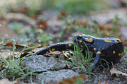Fire Salamander Photos - Fire Salamander Autumn Morning by Jivko Nakev