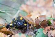 Fire Salamander Prints - Fire Salamander Dry Leaves Print by Jivko Nakev