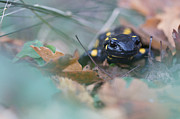 Fire Salamander Prints - Fire Salamander Front View Print by Jivko Nakev