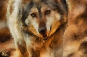Mexican Grey Wolf Framed Prints - Fire Wolf Framed Print by Ernie Echols