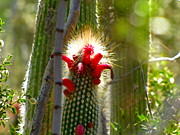 Marilyn Smith - Firecracker Cacti