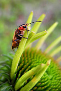 Lightning Bugs Prints - Firefly Lightning Bug Grabs A Snack Before Work Print by Christina Rollo