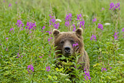 John Hyde - Fireweed Grizzly