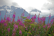 Jim Cook Prints - Fireweed Print by Jim Cook