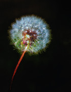 Isolated Digital Art Prints - Firework Dandelion Print by Bill Tiepelman
