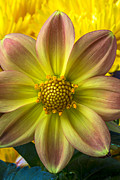 Yellow Fireworks Prints - Fireworks Dahlia Print by Garry Gay