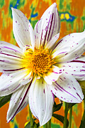 Yellow Fireworks Prints - Fireworks Dahlia white and pink Print by Garry Gay
