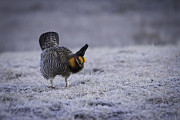 Prairie Chicken Prints - First Light 2 Print by Thomas Young