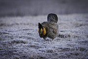 Prairie Chicken Prints - First Light 4 Print by Thomas Young