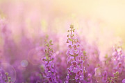 Purple Flowers Prints - First Light Print by Amy Tyler