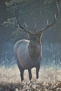 Peter Mathios Posters - First Light - Bull Elk Poster by Peter Mathios