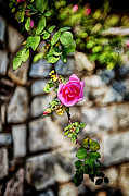 John Haldane Prints - First Rose Print by John Haldane