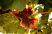 Grapevine Red Leaf Photo Posters - First Signs of Autumn Poster by Dry Leaf