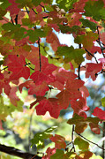Red Leaves Photos - First Signs of Fall  by Saija  Lehtonen