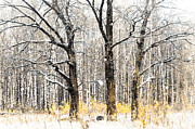 Grisaille Framed Prints - First Snow. Tree Brothers Framed Print by Jenny Rainbow
