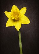 Fielding Prints - First Spring Daffodil Print by Edward Fielding