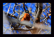 Susanne Still - First Spring Robin of...