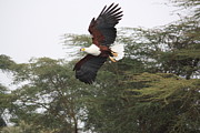 Julie McCabe - Fish Eagle