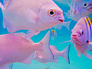 Fish Frenzy Print by Carey Chen