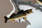 Carp Digital Art - Fish Mount Set 02 C by Thomas Woolworth