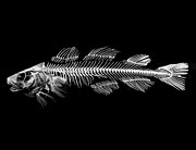 Backbone Framed Prints - Fish Skeleton Still Life Framed Print by Philip Sweeck