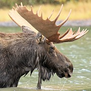 Bull Moose Posters - Fishercap Lake Moose Poster by Adam Jewell