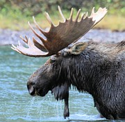 Adam Jewell - Fishercap Moose