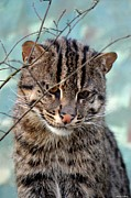 Maria Urso - Artist And Photographer Acrylic Prints - Fishing Cat Acrylic Print by Maria Urso - Artist and Photographer