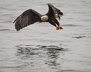 Eagles Photographs Posters - Fishing  Poster by John Holen