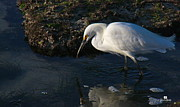 White Crane Prints - Fishing Print by Russ Harris