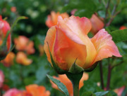 Yellow Rosebud Photos - Fit for a Queen by Rona Black