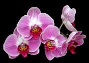 Sabrina L Ryan - Five Beautiful Pink Orchids