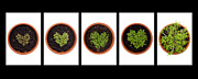Sprouts Posters - Five Days on Black Poster by Anne Gilbert