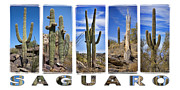 Saguaros Posters - Five Saguaros Poster by Kelley King