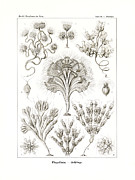 Candelabrum Framed Prints - Flagellata Framed Print by Ernst Haeckel