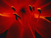 Flower Photograph Posters - Flaiming Red Lily Poster by Ann Powell