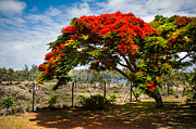 Regia Posters - Flamboyant in Glorious Bloom. Mauritius Poster by Jenny Rainbow