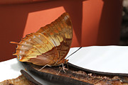Judy Whitton - Flame-bordered Charaxes...