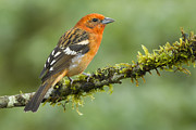 Juan Carlos Vindas - Flame colored Tanager...