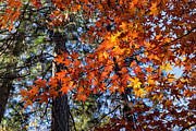 Turning Leaves Prints - Flaming Maple Beneath the Pines Print by Kathleen Bishop