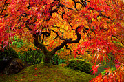 Japanese Garden Posters - Flaming Maple Poster by Darren  White