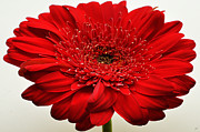 Digitally Altered Floral Posters - Flaming Red Zinnia Poster by S Allen